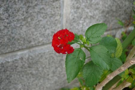 赤いランタナ