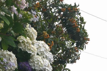 紫陽花と枇杷