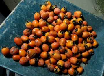 2013_11 21_渋柿を収穫