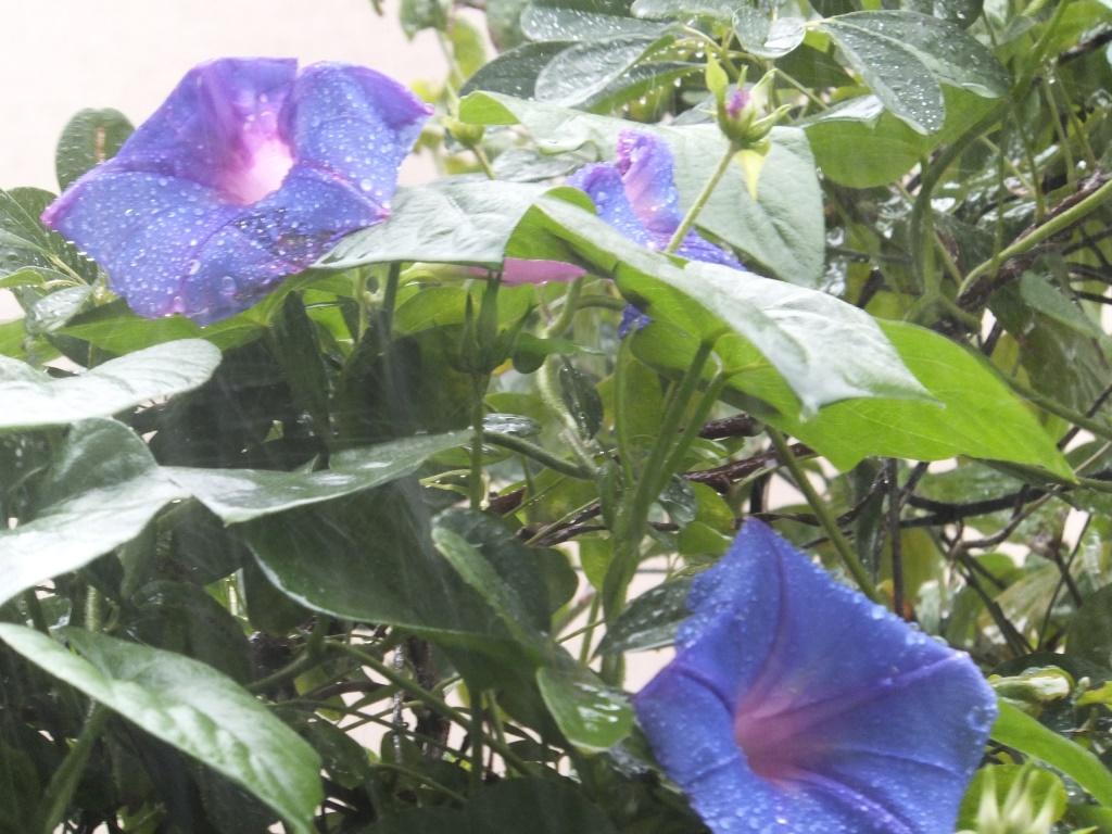 紫陽花・雨