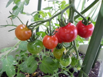 tomato4-2.jpg