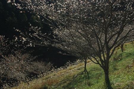桜とススキ