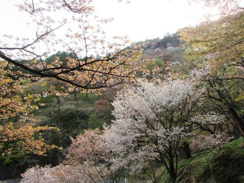 IMG_3798yoshinosakura-06.jpg