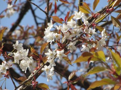 IMG_3874yoshinoflowersetc-12.jpg