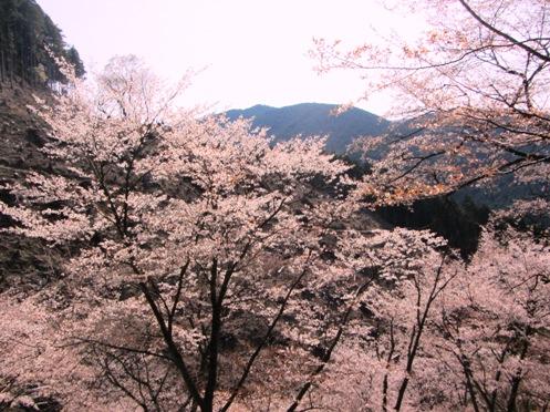 IMG_3894yoshinosakura-14.jpg