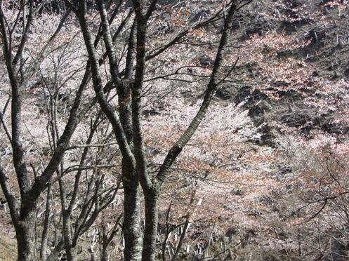 IMG_3908yoshinosakura-18.jpg