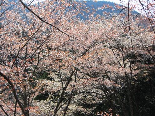 IMG_3909yoshinosakura-19.jpg