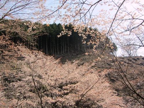 IMG_3914yoshinosakura-20.jpg