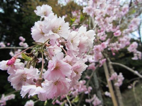 IMG_4046yoshinoflowersetc-19.jpg