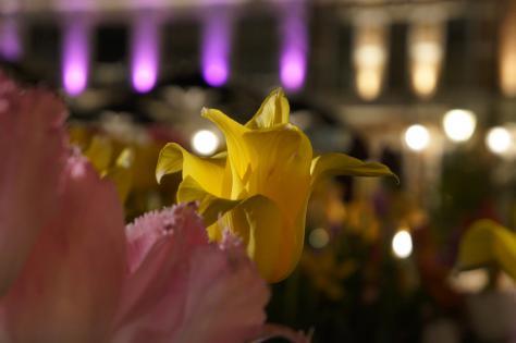 黄色チューリップと街並みライトアップ