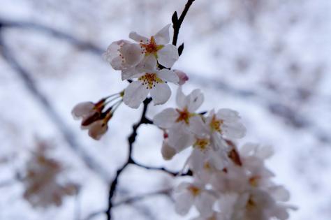 水濡れ桜2