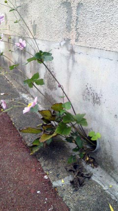 kosumosuNEC_0578.jpg