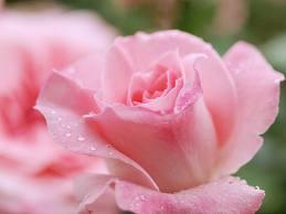 images 秋のバラ