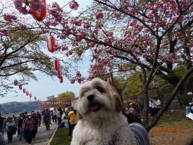 H.25.4.14羽村桜祭り6
