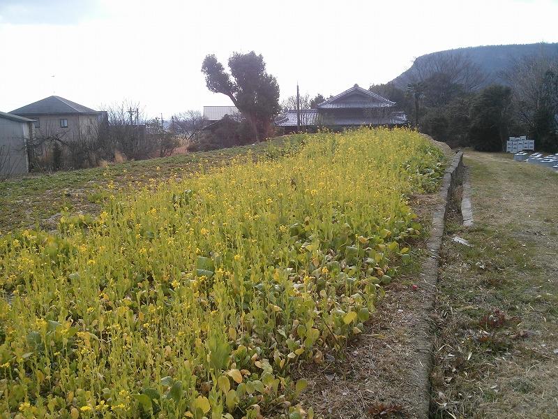 早咲き菜の花