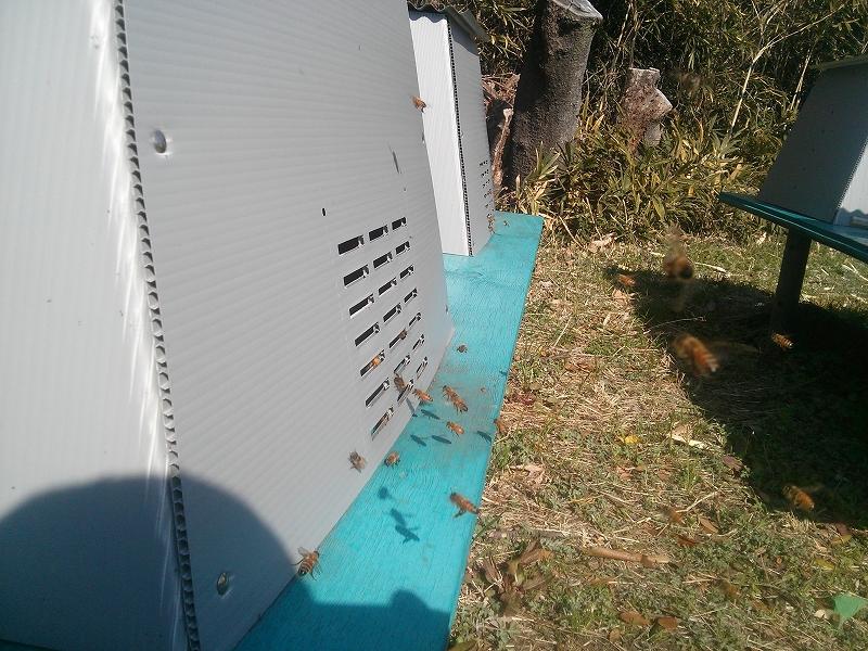 出入りするミツバチ
