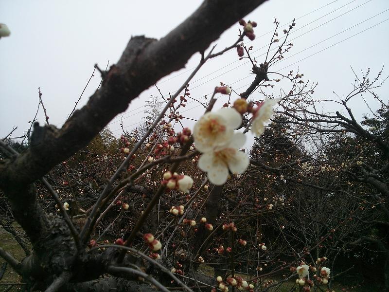 公渕ウメ開花