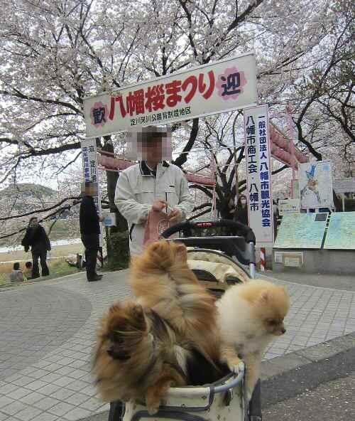 yawatasakura2.jpg