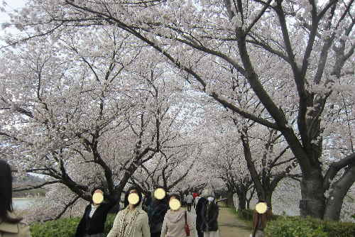 yawatasakuramaturi2.jpg