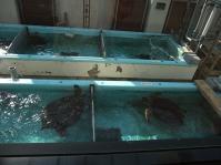 ウミガメ赤ちゃん2
