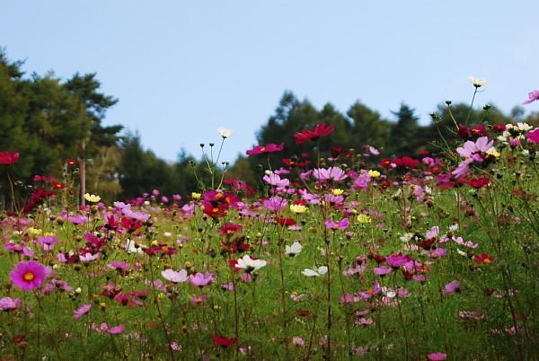 kosumosu10142.jpg
