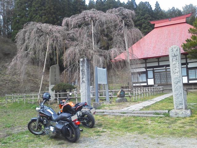 永泉寺の桜2
