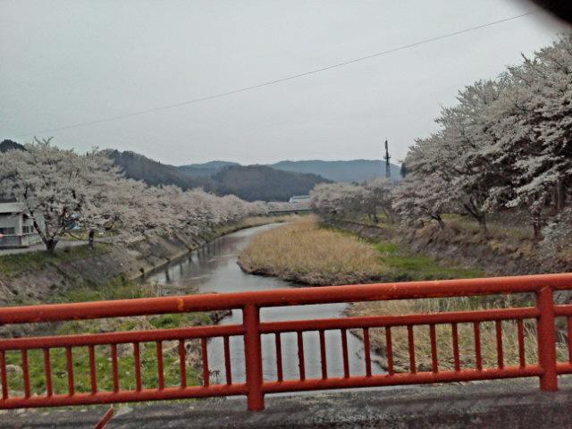 しょうてんはし桜2