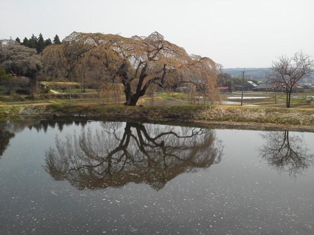 花園の枝垂れ桜