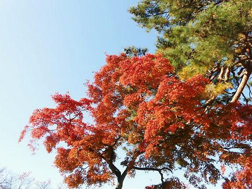 03 500 20141122 赤い椛と緑の松