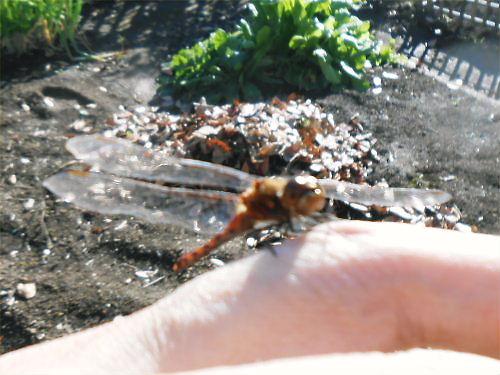 08 500 20141122 赤蜻蛉が人差し指にin菜園