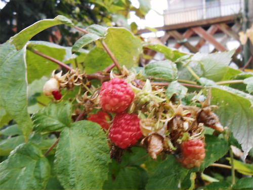 05 500 20141126 raspberry:長寿
