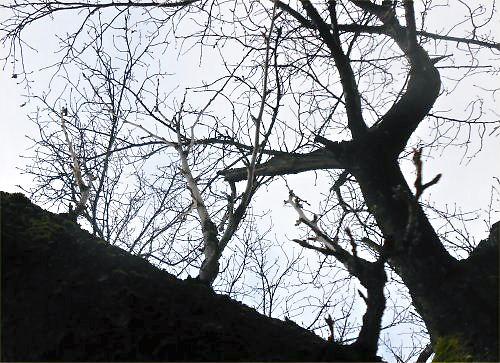03 500 20141130 桜落葉と新芽