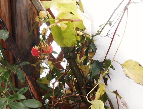 08 500 20141207 Last Raspberries01