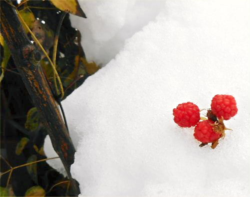 09 500 20141207 Last Raspberries02on snow