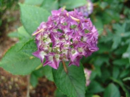 tntnH25-06-15赤紫のアジサイ (1)