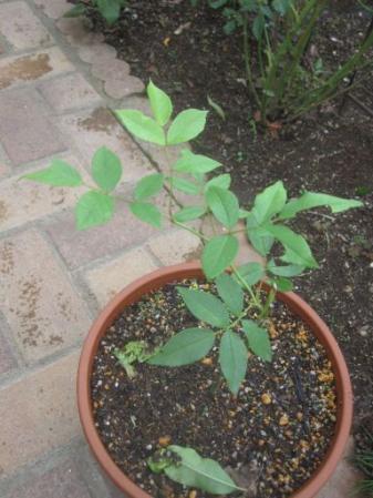 tntnH25-06-22挿し木のバラ (1)