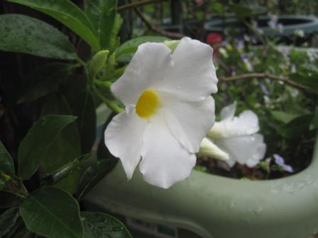 tnH25-08-03マンデビラ (3)