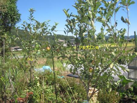 tnH25-09-17リンゴの木 (3)_1