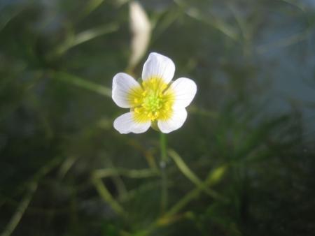 tnH25-10-24水草の花 (5)