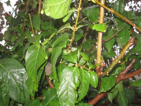 tnH25-10-25ロウバイの花芽 (1)