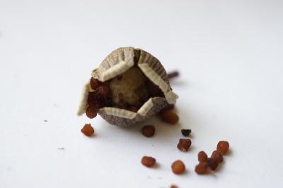 0605-4シクラメン種