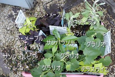 0522-29グリーンカーテン類苗