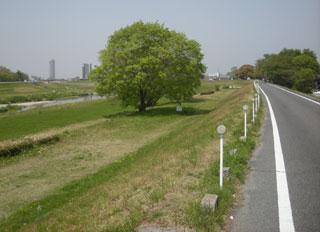 矢田川 もみの木