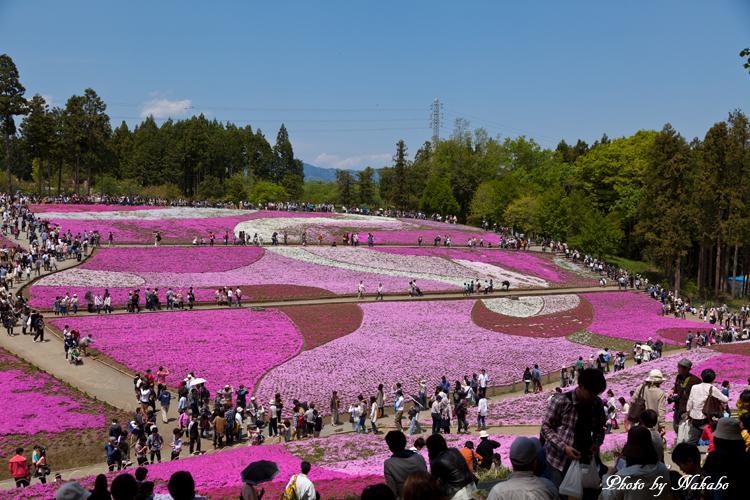 Chichibu_Shibazakura_11.jpg