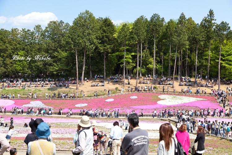 Chichibu_Shibazakura_22.jpg