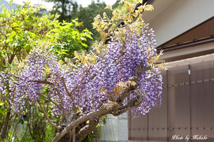 Chichibu_Shibazakura_4.jpg