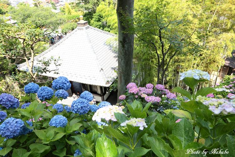 Kamakura_Ajisai_25.jpg