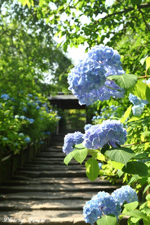Kamakura_Ajisai_3.jpg