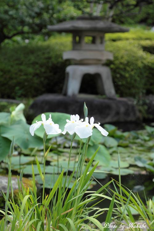 Kamakura_Ajisai_42.jpg
