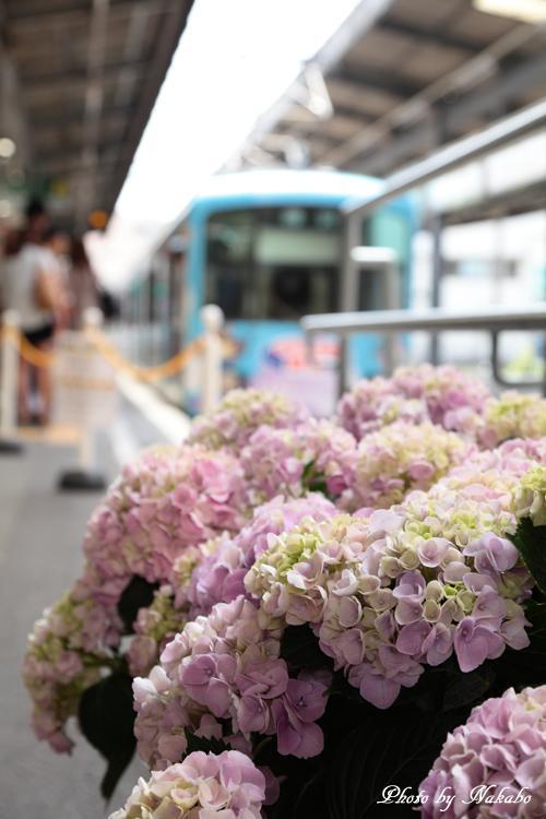 Kamakura_Ajisai_54.jpg
